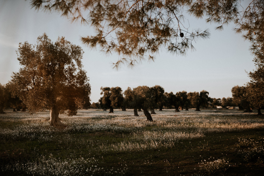 Golden sunset shot of an orchard in Puglia, scattered with white spring wildflowers against a light blue sky